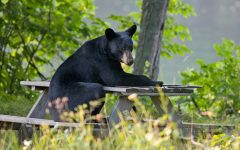Black bears: Vermont's largest pests