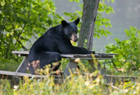 Black bears: Vermont's largest pests