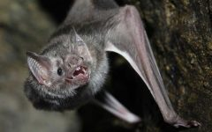 Vermont bats still in trouble